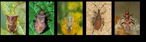 Checklist of UK Heteroptera